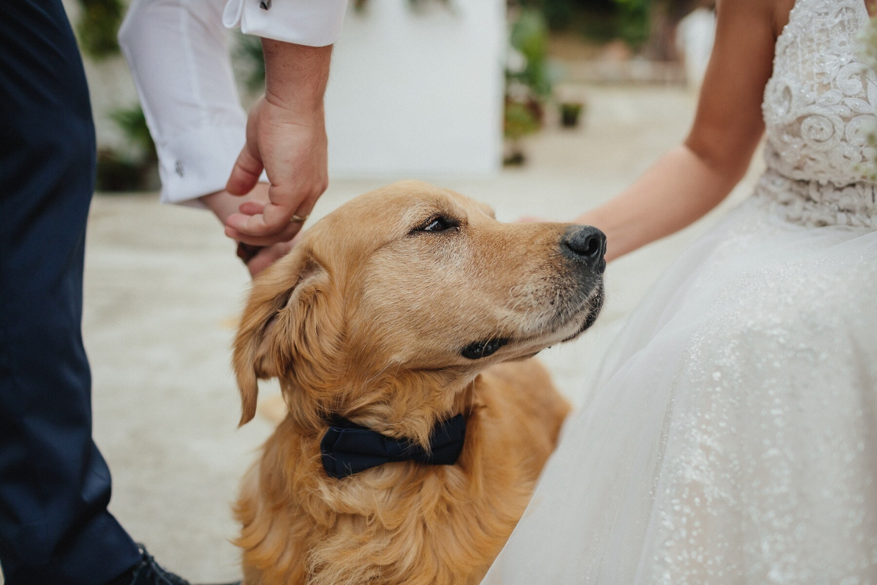 dog, bowtie, retriever, hunting dog, pet, cute, puppy, love, woman, groom