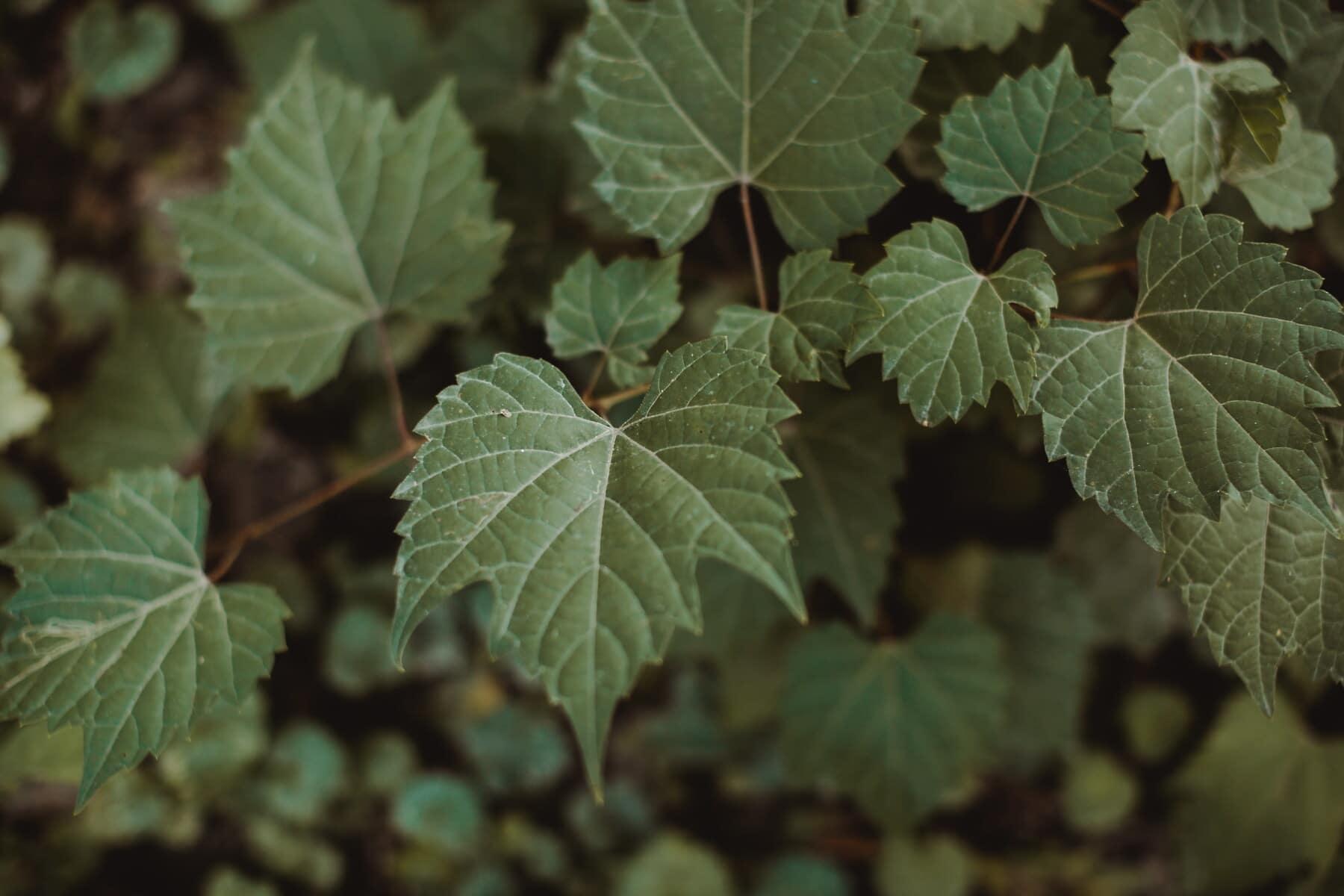 plante, feuille, nature, arbre, feuilles, flore, vigne, été, à l'extérieur, fermer