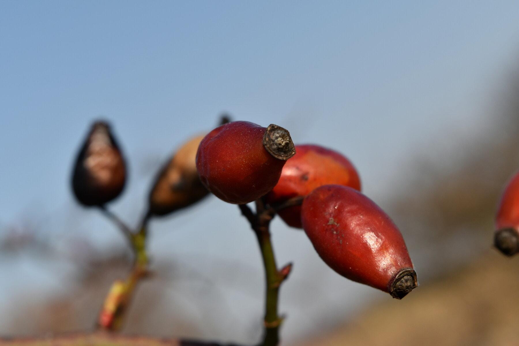 grane, crveno, biljka, ruža, C vitamin, dijetetsko, hrana, priroda, zamagliti, na otvorenom