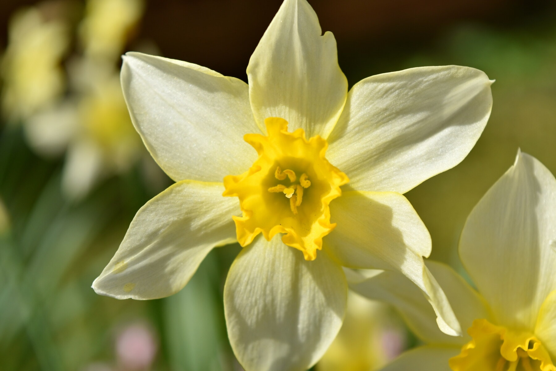 Blumen, Narzisse, Pollen, gelb, Nektar, aus nächster Nähe, Gartenbau, blühen, Natur, Garten