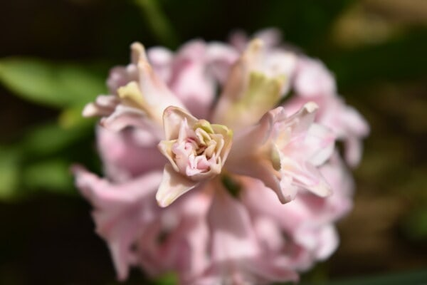hyacinth, pink, detail, close-up, focus, blurry, herb, plant, flowers, blossom