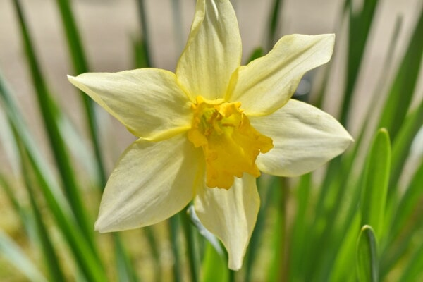 daffodil, yellowish, flowers, petals, close-up, nature, narcissus, leaf, spring, garden