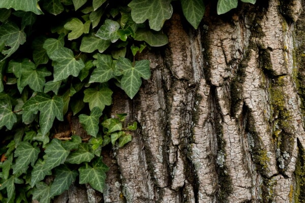 texture, bark, parasit, green leaves, ivy, herb, fungus, lichen, leaf, forest