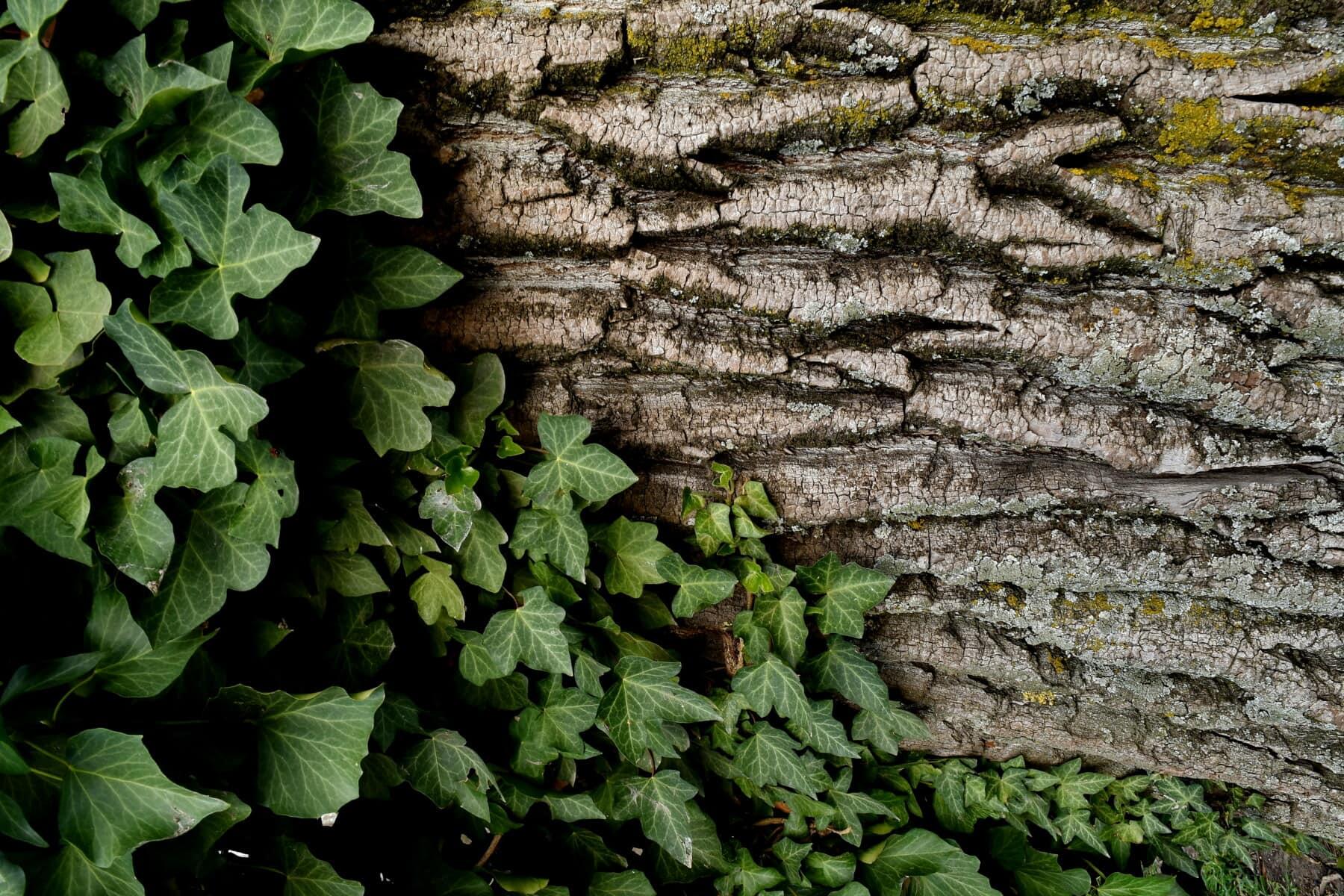 lierre, arbre, écorce, cortex, lichen, champignon, parasit, barrière, feuille, nature