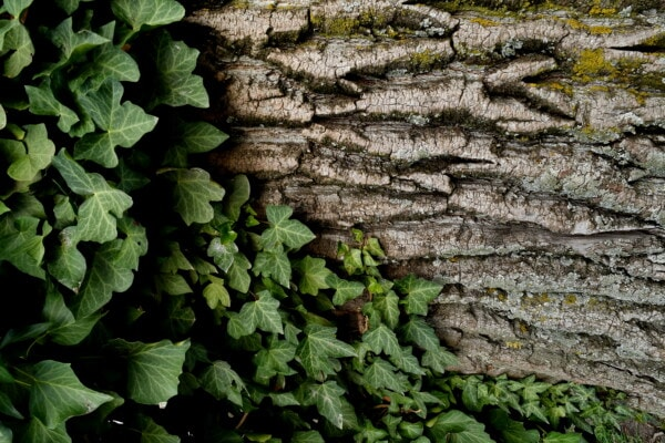 ivy, tree, bark, cortex, lichen, fungus, parasit, barrier, leaf, nature