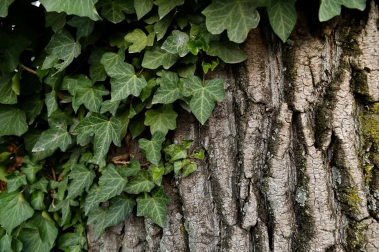 ivy, green leaves, lichen, parasit, mossy, herb, forest, leaf, tree, plant