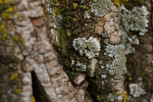 lichen, trees, moss, bark, texture, tree, fungus, nature, wood, rough