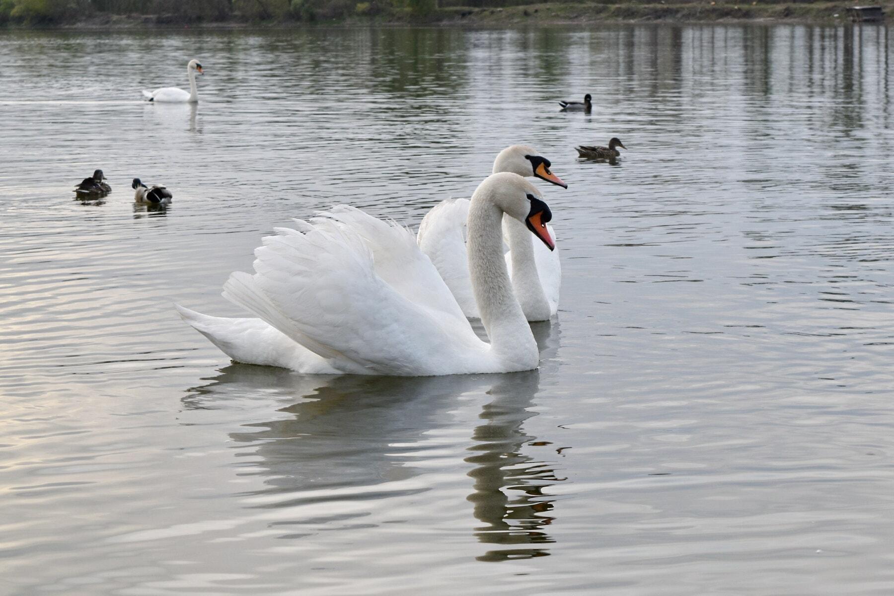 Schwan, Schwimmen, Wasser, Vögel, Reflexion, Wasservögel, See, Vogel, Teich, aquatische Vogel
