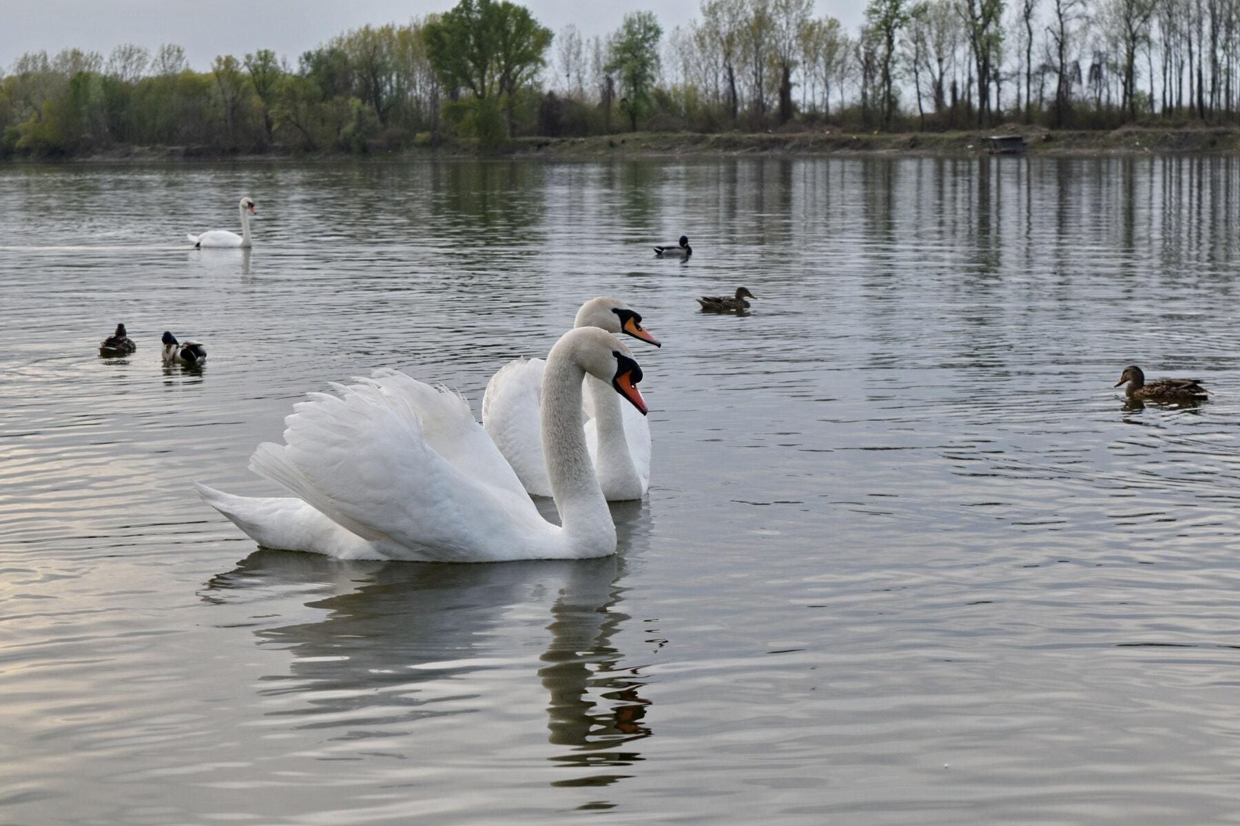 oiseaux, cygne, canards, au bord du lac, sauvagine, Lac, eau, piscine, canard, réflexion