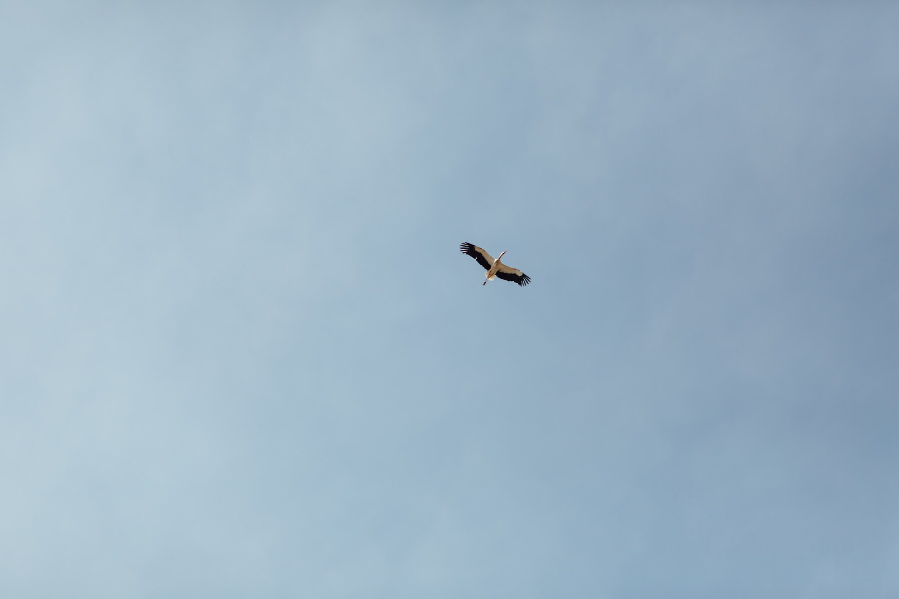 політ, естакади, птах, міграції, Синє небо, політ, дикої природи, природа, на відкритому повітрі, тварини
