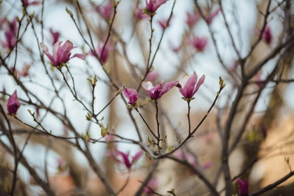 purplish, flowers, magnolia, spring beauty, spring time, nature, leaf, tree, flora, flower