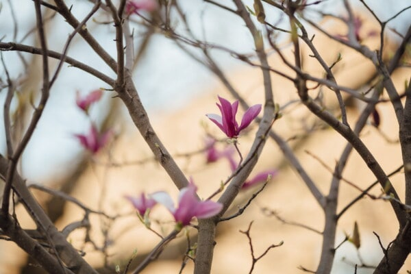 flowering, magnolia, branches, trees, nature, flower, tree, branch, outdoors, flora