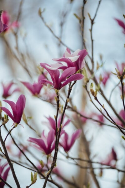purplish, flowers, magnolia, spring time, tree, botany, ecology, horticulture, leaf, flower