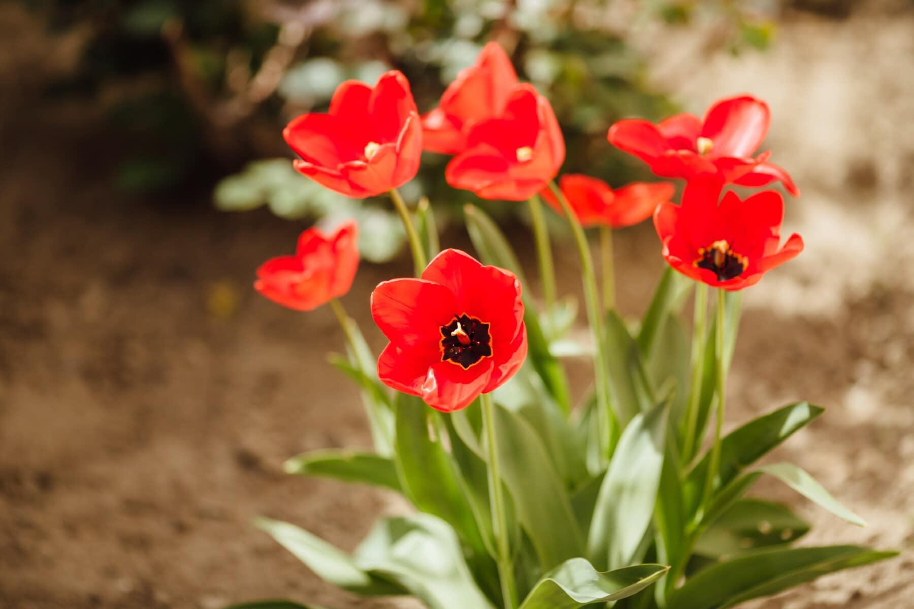 red, tulips, flower garden, flora, leaf, tulip, blossom, plant, nature, flower