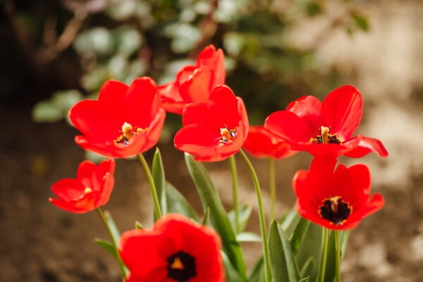 red, tulips, spring time, horticulture, sunny, tulip, flora, leaf, nature, flower