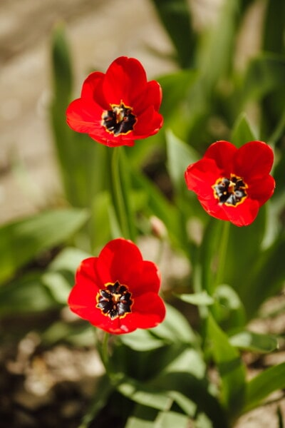 tulips, horticulture, flower garden, spring time, petals, reddish, sunny, fair weather, flora, plant