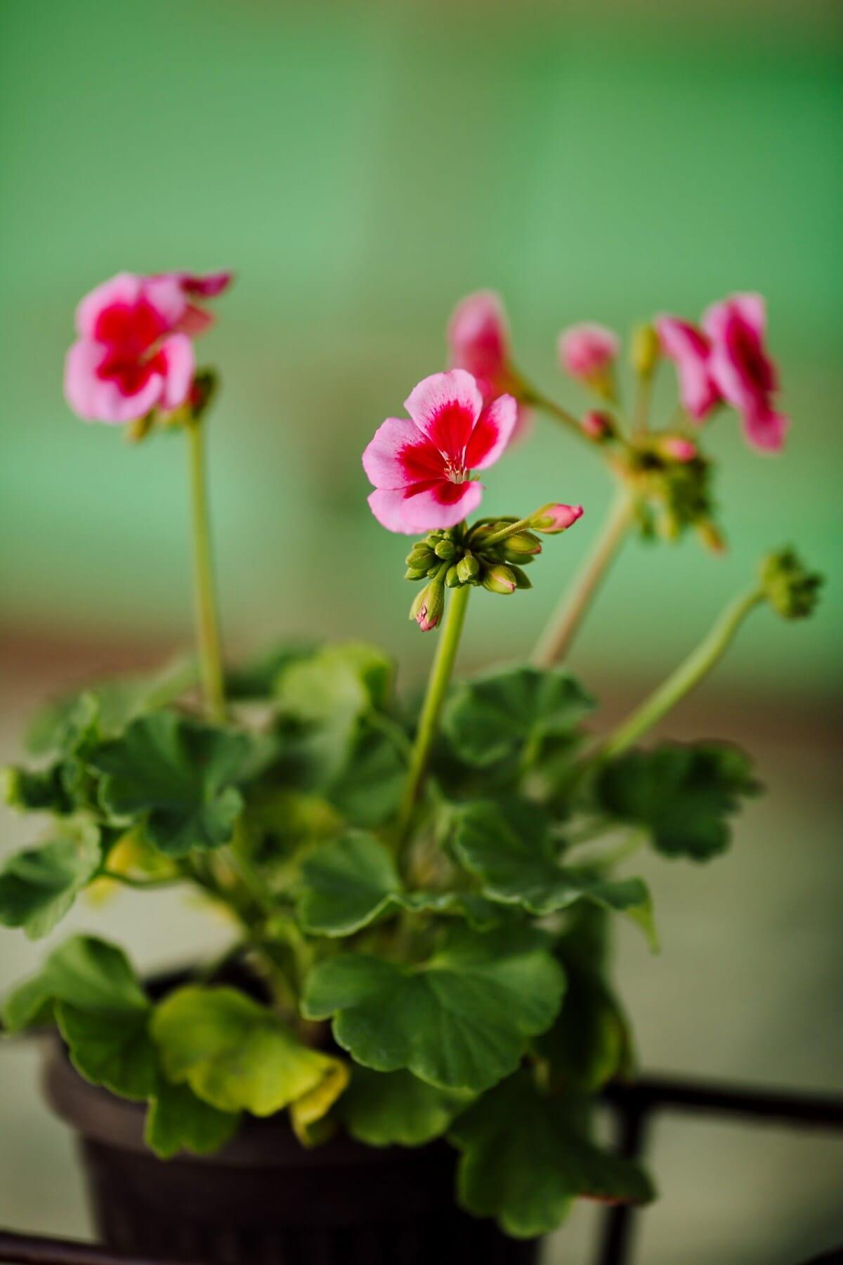 Blumentopf, Geranie, Blütenknospe, Rosa, Anlage, Sommer, Flora, Kraut, Garten, Blume