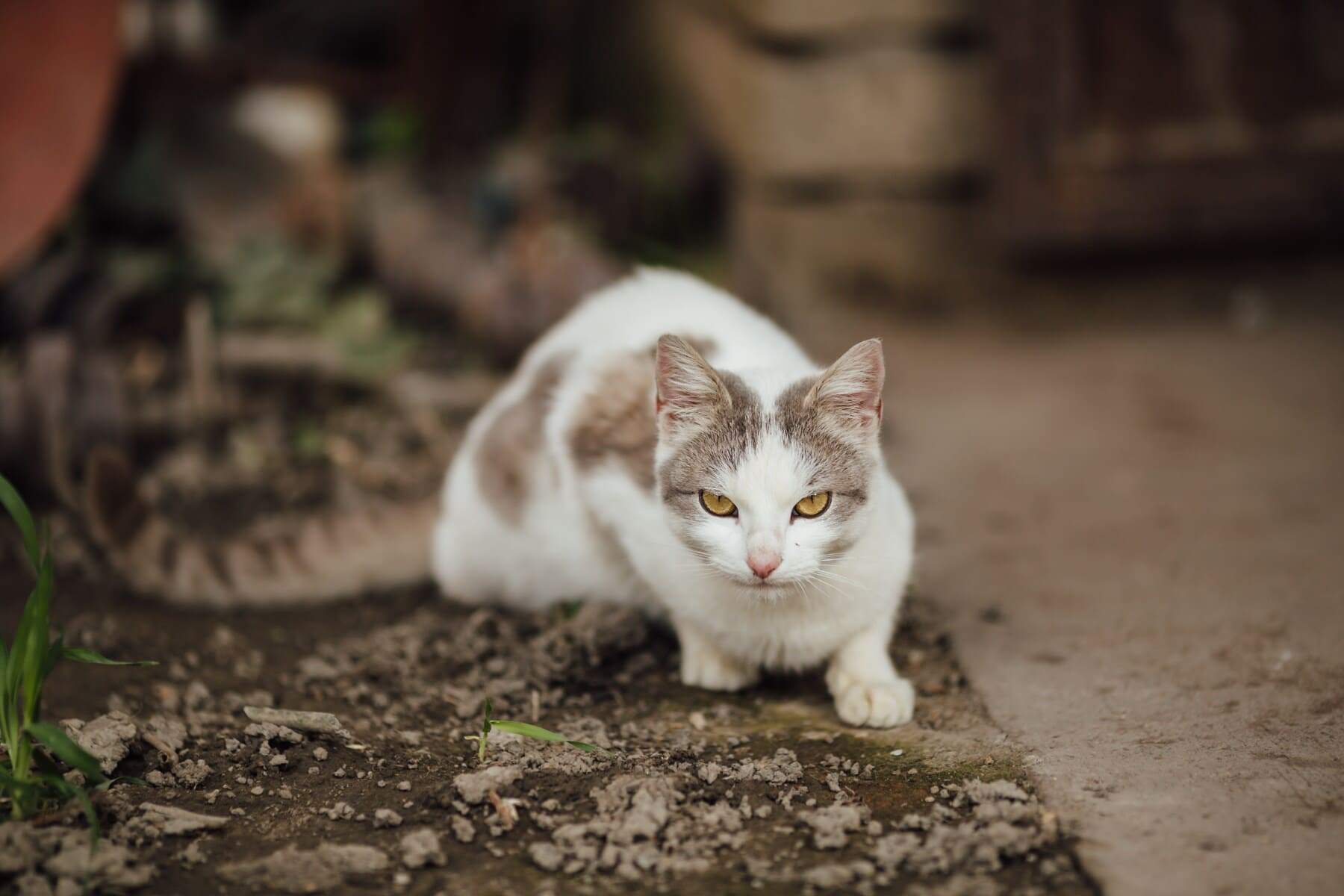 chat domestique, curieux, œil, chaton, animal de compagnie, animal, chat, mignon, félin, domestique