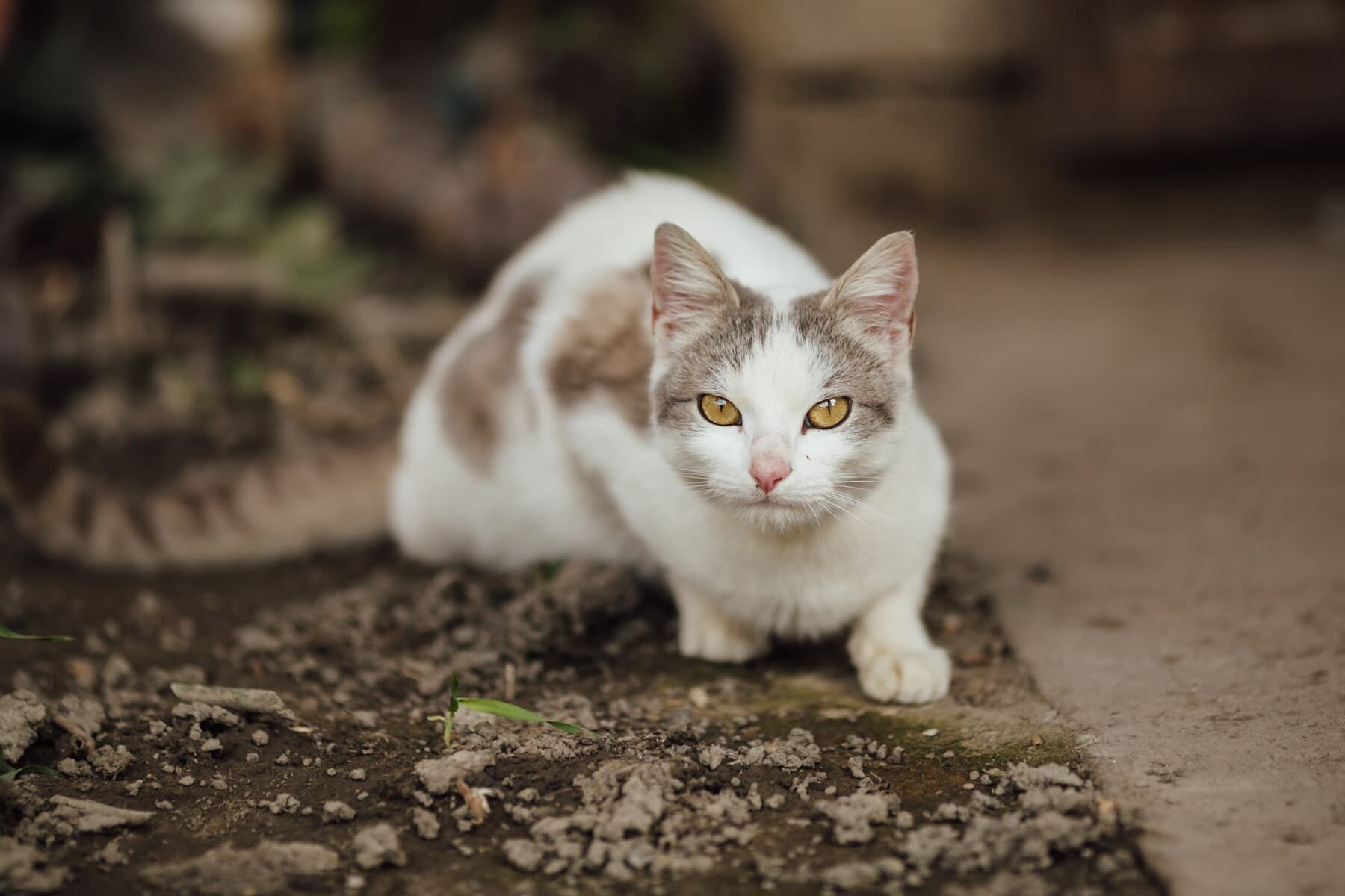 domestic cat, portrait, head, looking, eyes, curious, cat, pet, young, kitty