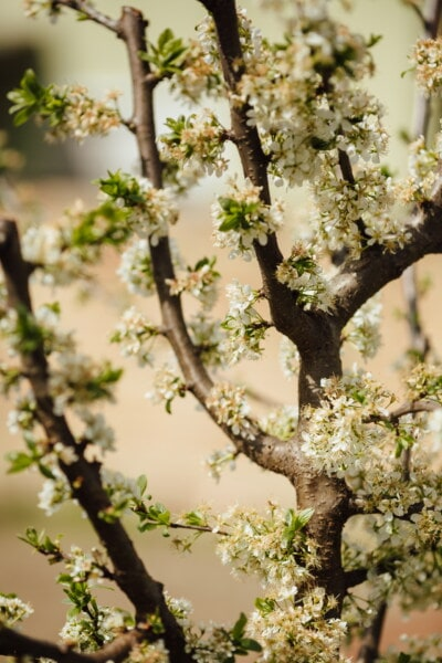 tree, apple tree, flowers, branches, spring time, agriculture, orchard, plant, branch, nature