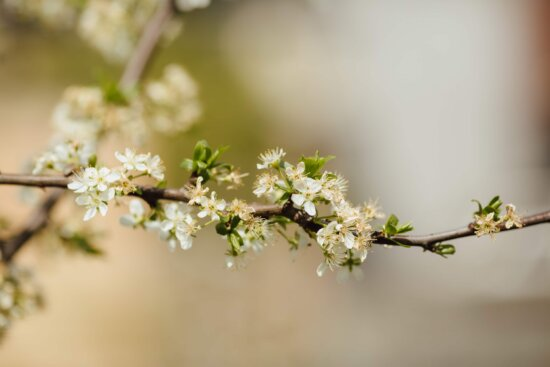 branches, spring time, apple tree, plant, cherry, spring, branch, blossom, flowers, herb