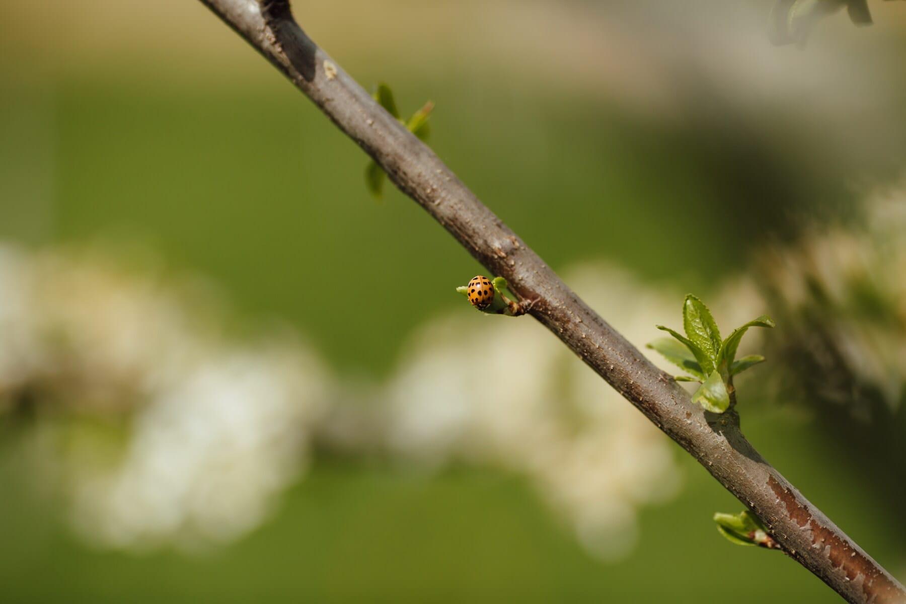 เต่าทอง, สีส้มสีเหลือง, ด้วง, ขนาดเล็ก, แมลง, ธรรมชาติ, สาขา, ต้นไม้, กิจกรรมกลางแจ้ง, เบลอ