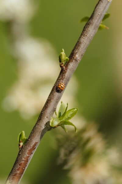 ladybug, orange yellow, insect, branchlet, spring time, details, green leaves, nature, leaf, outdoors