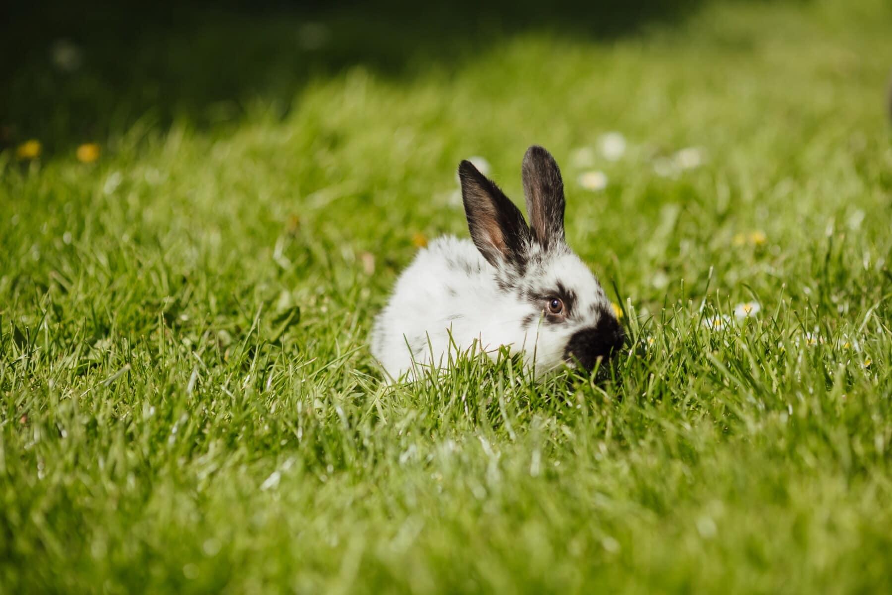curious, bunny, rabbit, eat, green leaves, green grass, grass, cute, fur, pet