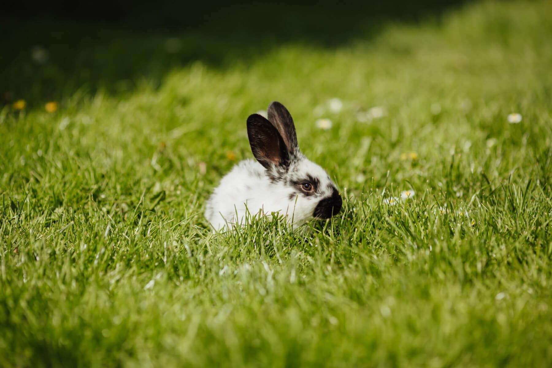 rabbit, domestic, bunny, animal, easter, grass, pet, fur, cute, nature