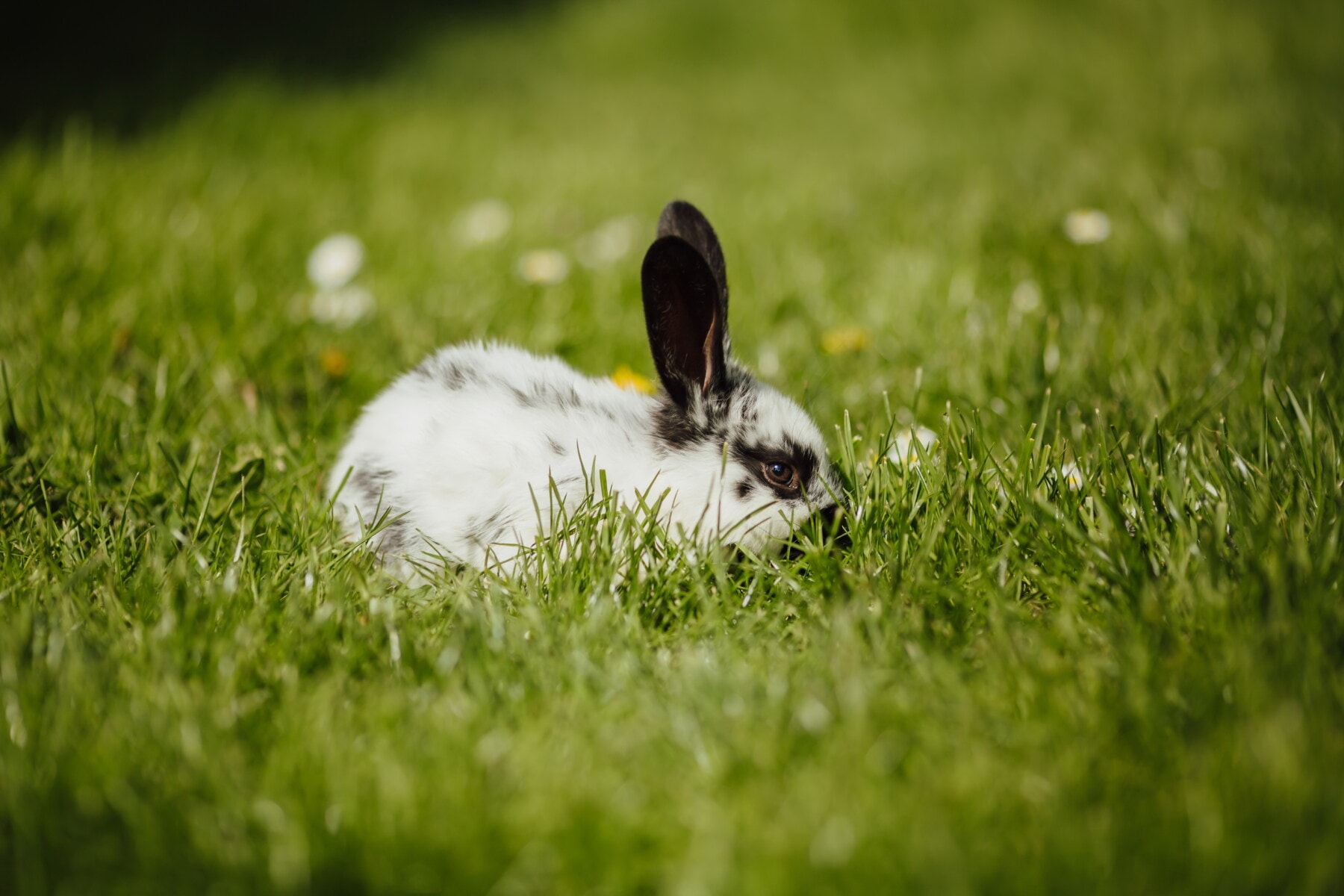 lapin, domestique, animal de compagnie, animal, rongeur, Bunny, herbe, faune, nature, Pâques