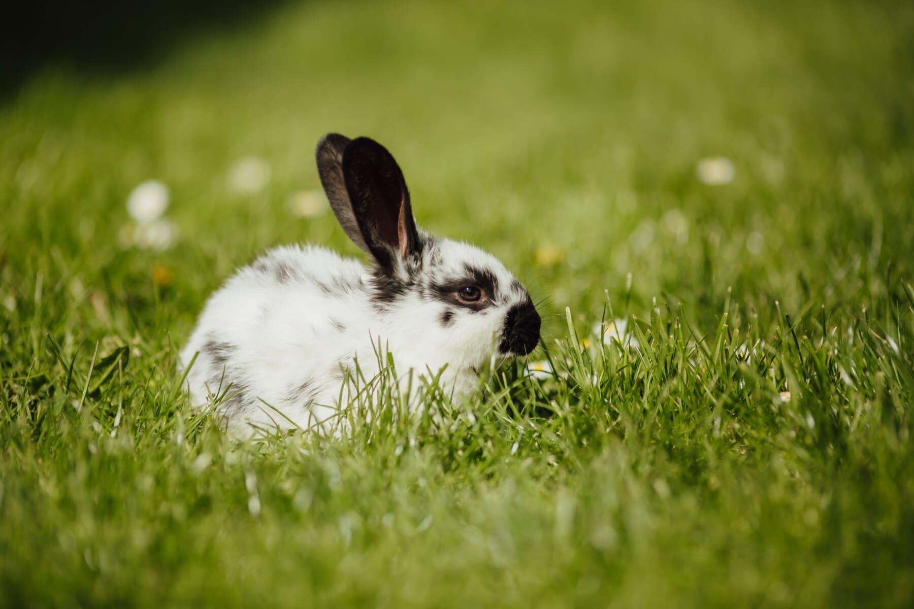 Hase, grünes Gras, aus nächster Nähe, Ohr, liebenswert, Haustier, Tiere, Nagetier, Pelz, Bunny