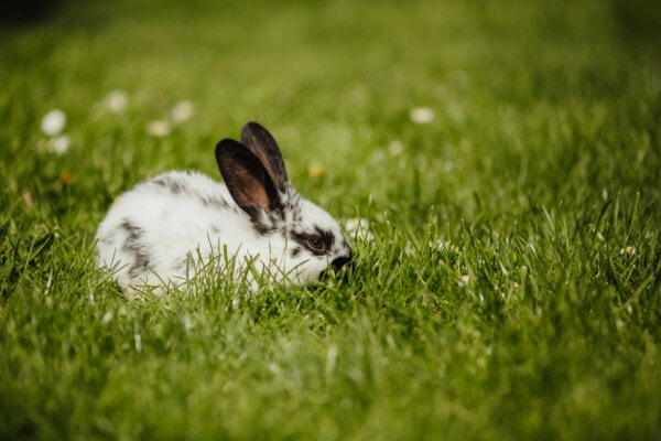 rabbit, domestic, pet, rodent, bunny, grazing, green leaves, green grass, cute, fur