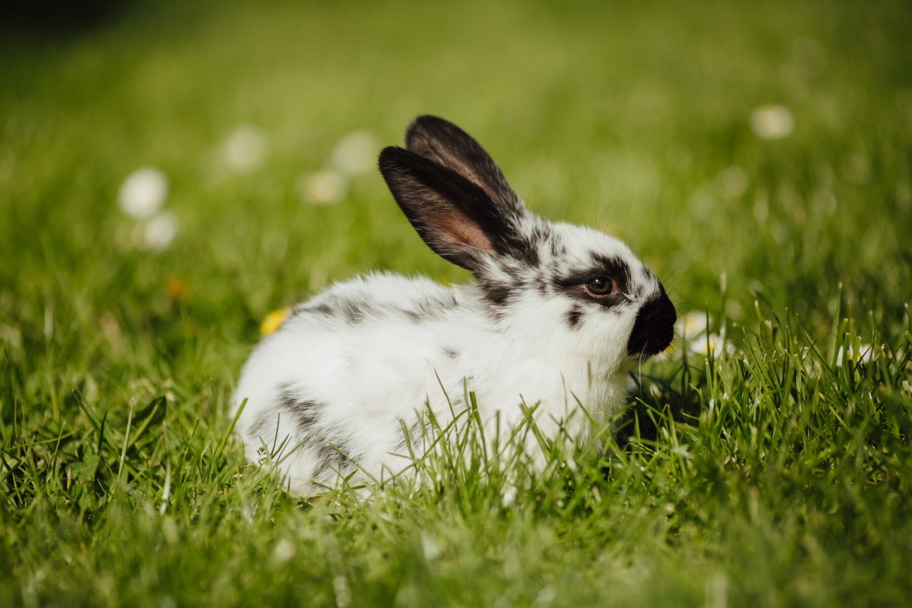 easter, bunny, rabbit, black and white, fair weather, sunny, animal, spring time, green grass, domestic