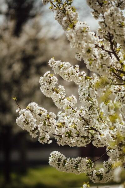 orchard, cherry, tree, herb, flower, shrub, plant, nature, blossom, spring