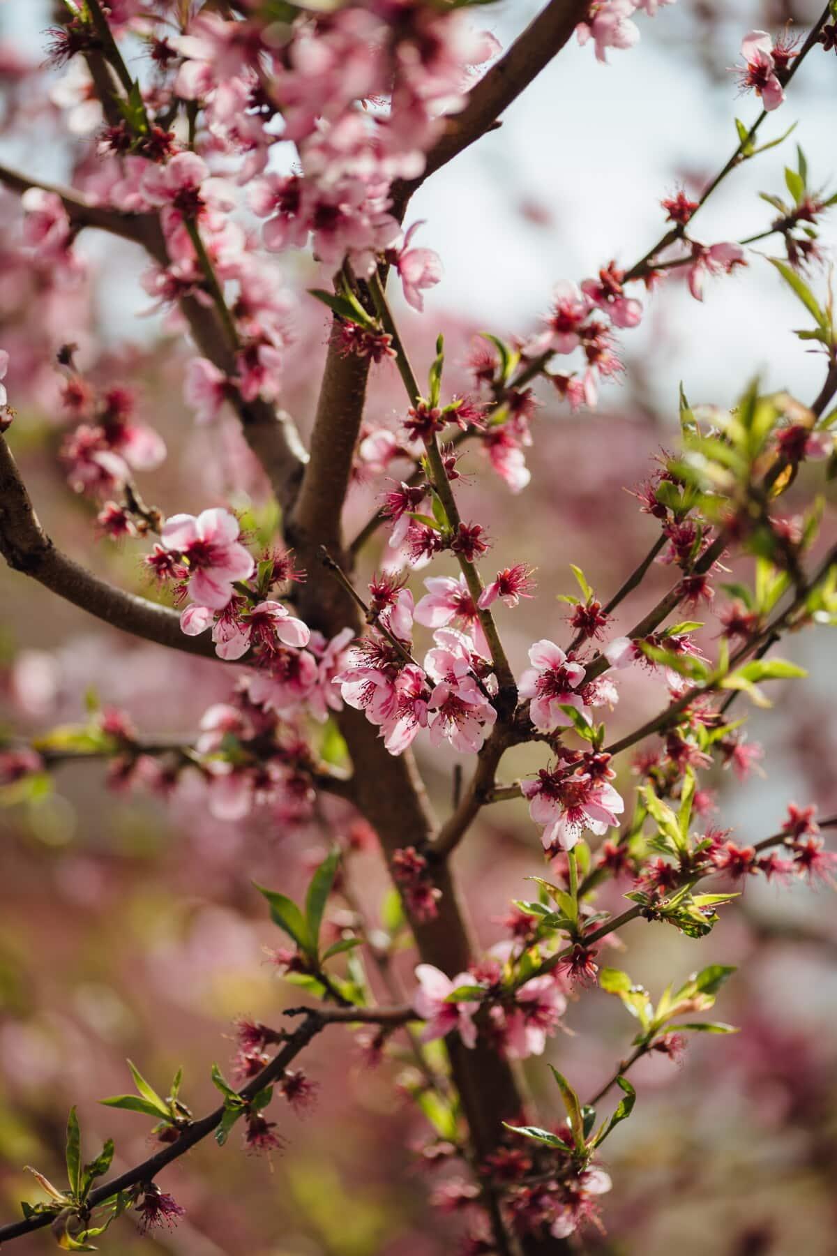 Geäst, Obstbaum, Struktur, Frühling, Pfirsich, Ökologie, Blüte, saisonale, Saison, Kirsche