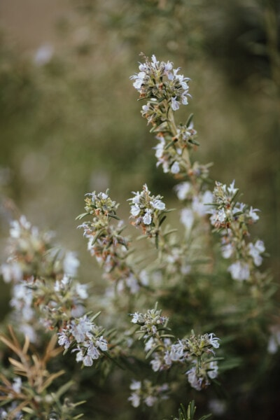 rosemary, meadow, field, herb, wilderness, wildlife, flora, blossom, flower, nature