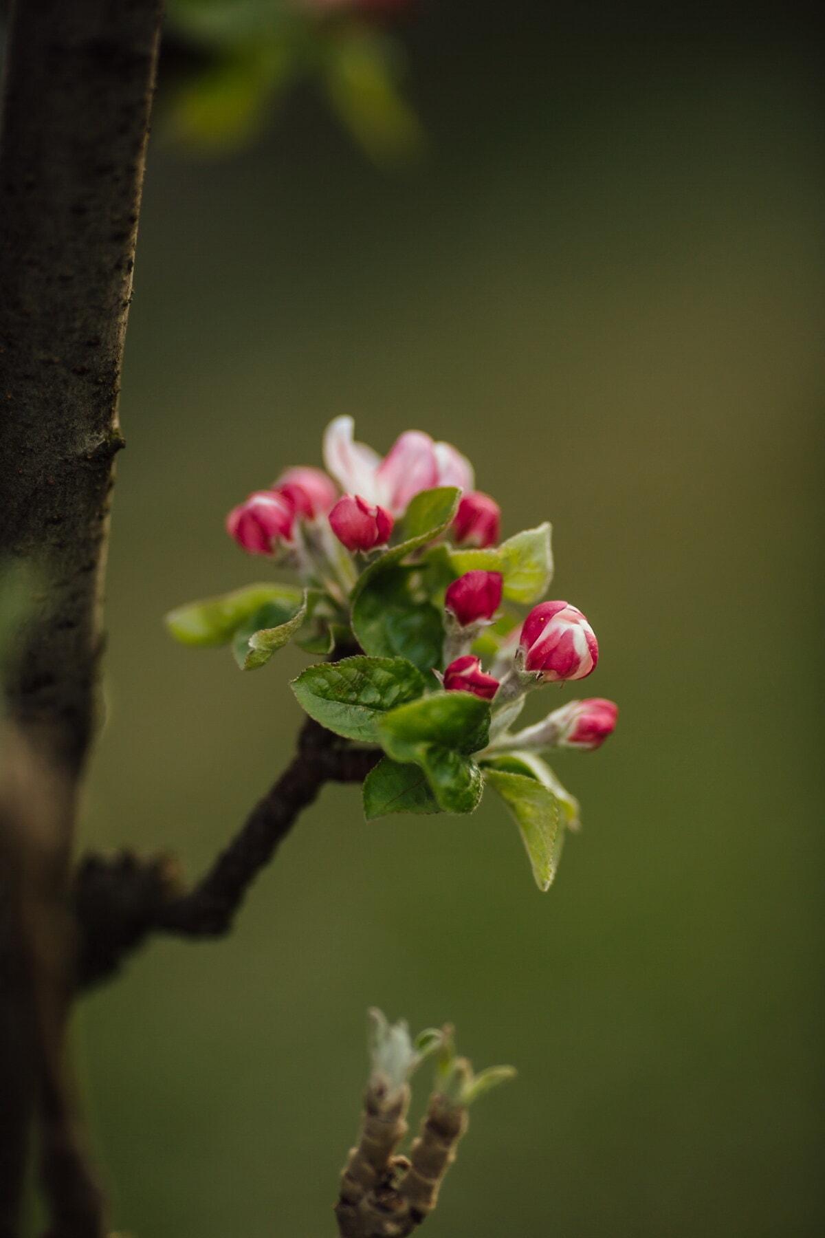 pommier, arbre fruitier, détails, fermer, bouton floral, vertical, arbre, fleur, à l'extérieur, fleur
