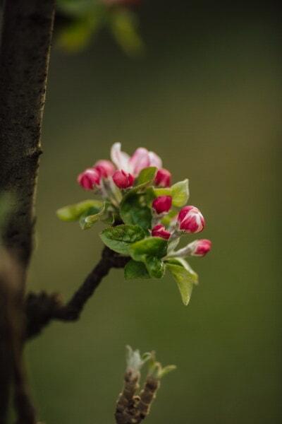 Apfelbaum, Obstbaum, Details, aus nächster Nähe, Blütenknospe, vertikale, Struktur, Blüte, im freien, Blume