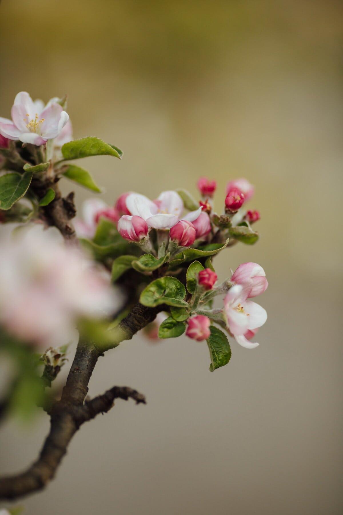 Blüte, Obstgarten, Obstbaum, Apfelbaum, Frühling, Blüte, Frühling, Apfel, Blütenblatt, Blume