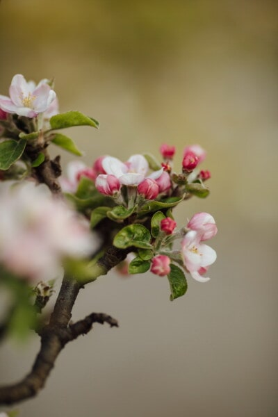 flowering, orchard, fruit tree, apple tree, spring time, blossom, spring, apple, petal, flower