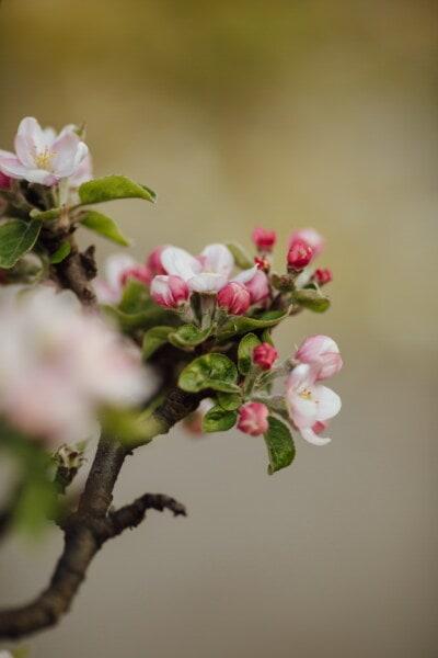 floraison, verger, arbre fruitier, pommier, printemps, fleur, printemps, pomme, pétale, fleur