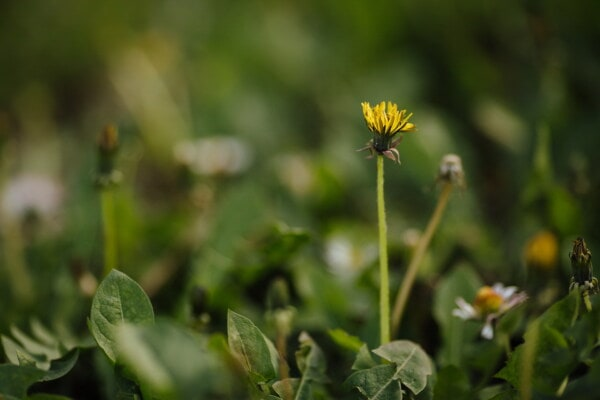 morning, dandelion, green grass, green leaves, close-up, bloom, nature, herb, flower, spring