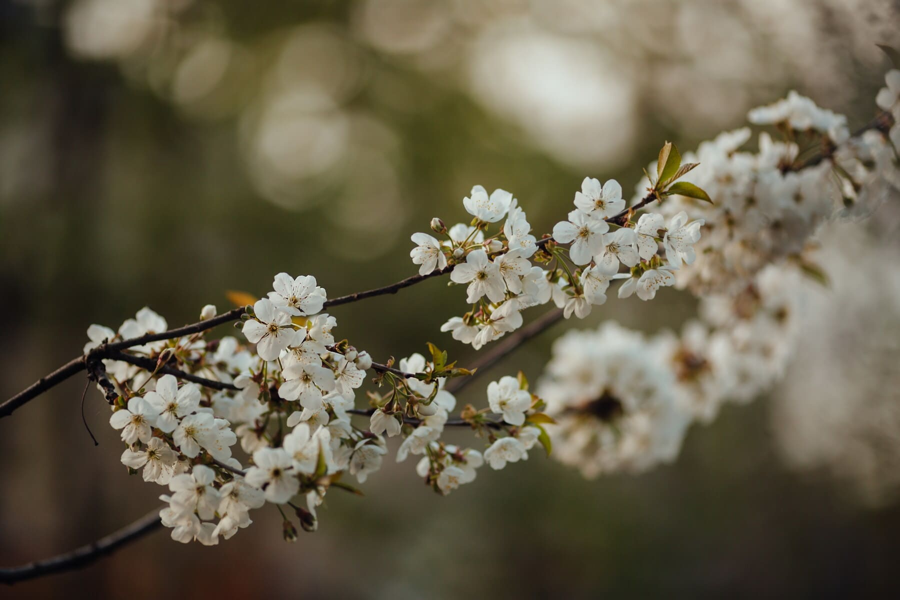 white flower, cherry, fruit tree, tree, spring time, morning, branches, nature, plant, herb