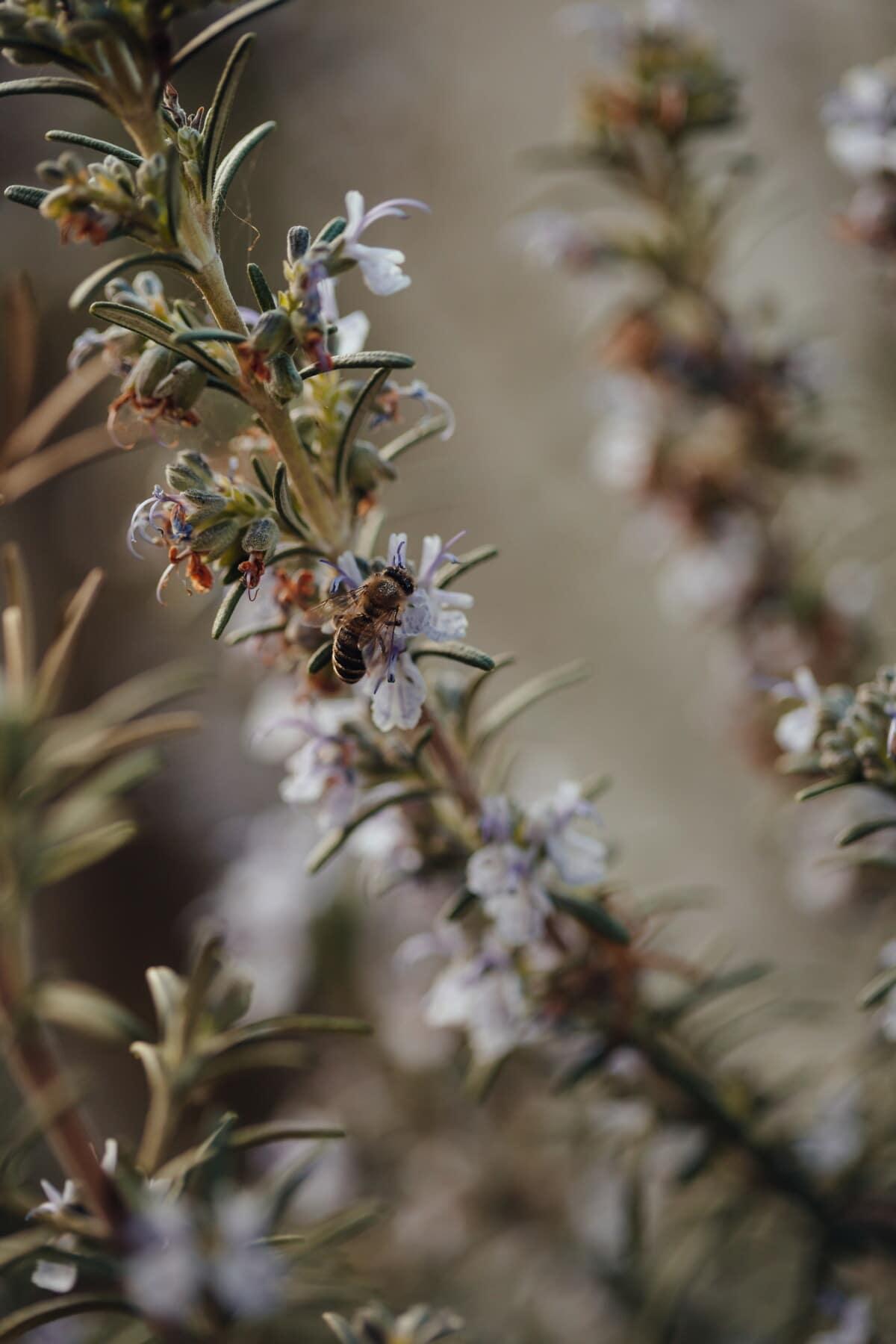 bee, honeybee, spring time, pollinator, pollen, herb, rosemary, aromatic, plant, nature