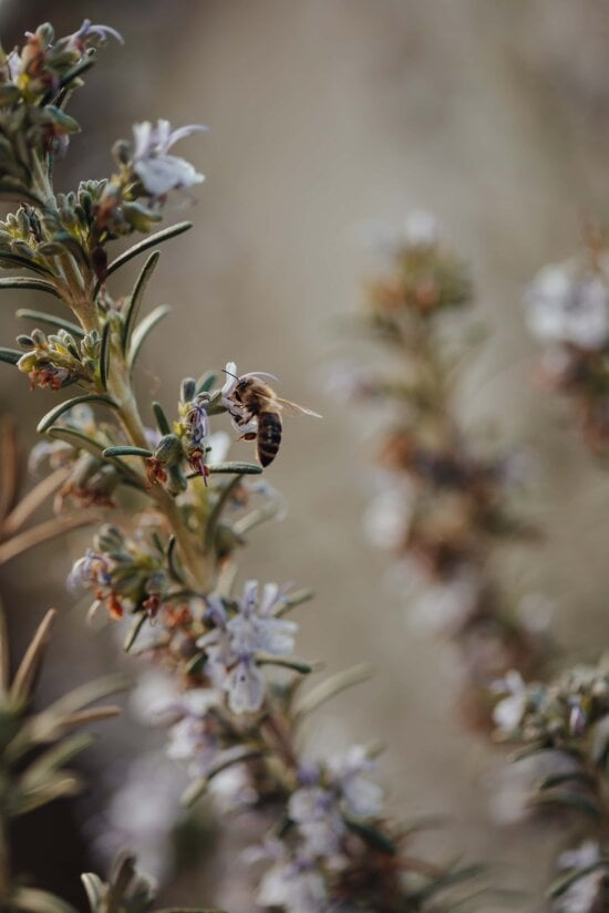 bee, honeybee, insect, flying, branch, plant, herb, spring, flower, nature