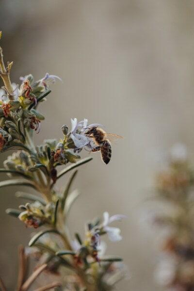honeybee, bee, arthropod, invertebrate, insect, nature, flower, worker, honey, blur