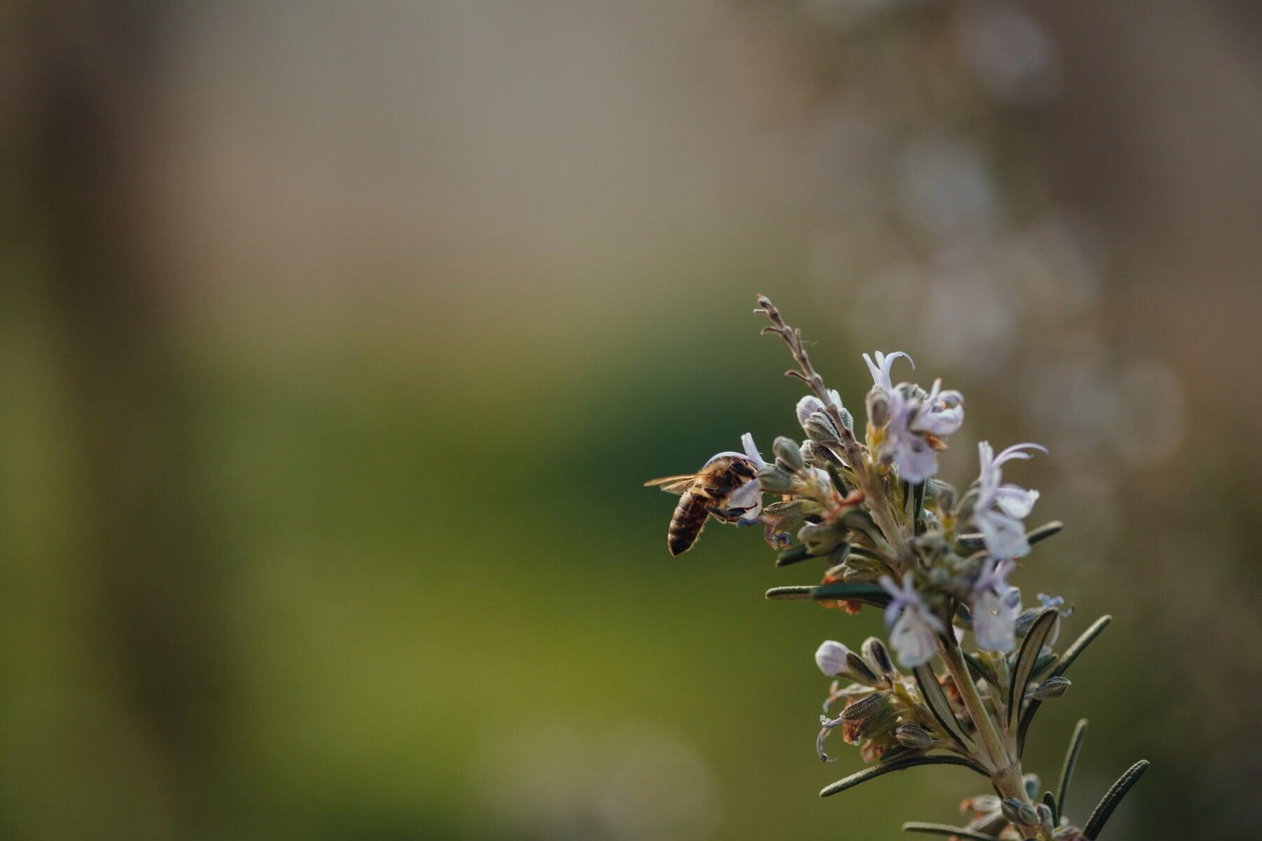 abeille, abeille, jardin fleuri, branches, romarin, branche, nature, arbre, printemps, fleur