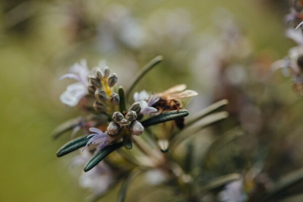 rosemary, wildflower, flower bud, close-up, nature, blur, plant, tree, flower, color