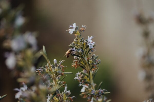 bee, honeybee, insect, branches, spring time, rosemary, nature, spring, garden, flower