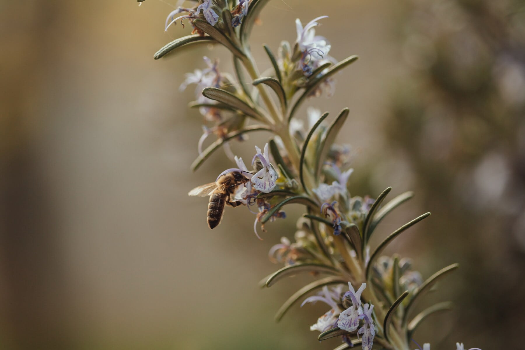rosemary, wildflower, bee, honeybee, insect, nectar, pollen, herb, aromatic, nature